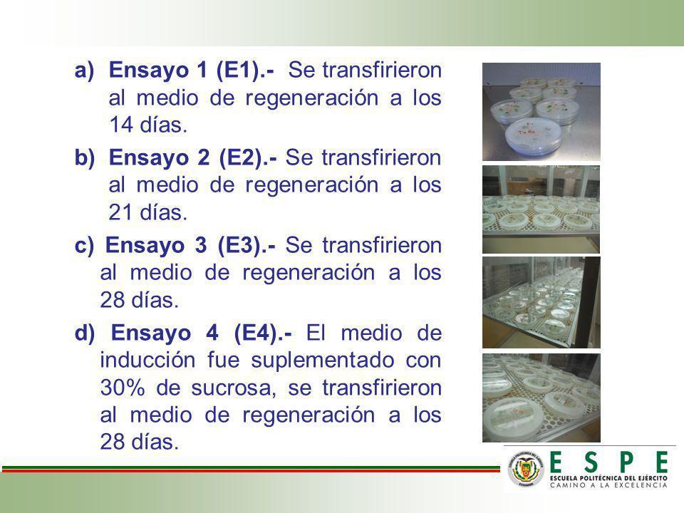 a)Ensayo 1 (E1).- Se transfirieron al medio de regeneración a los 14 días. b)Ensayo 2 (E2).- Se transfirieron al medio de regeneración a los 21 días.