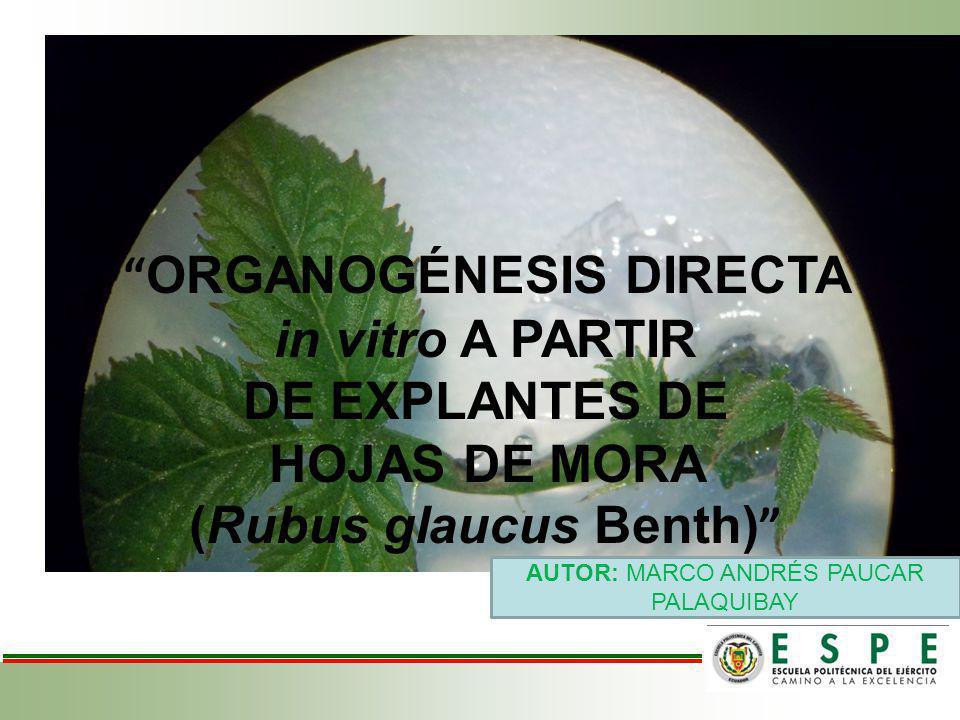 AUTOR: MARCO ANDRÉS PAUCAR PALAQUIBAY ORGANOGÉNESIS DIRECTA in vitro A PARTIR DE EXPLANTES DE HOJAS DE MORA (Rubus glaucus Benth)