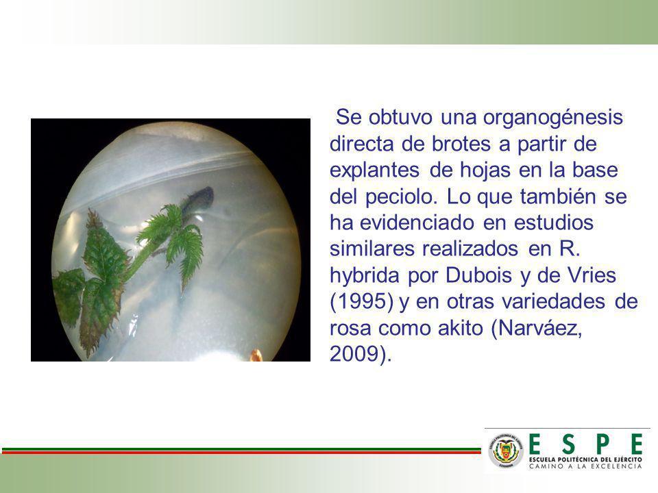 Se obtuvo una organogénesis directa de brotes a partir de explantes de hojas en la base del peciolo. Lo que también se ha evidenciado en estudios simi