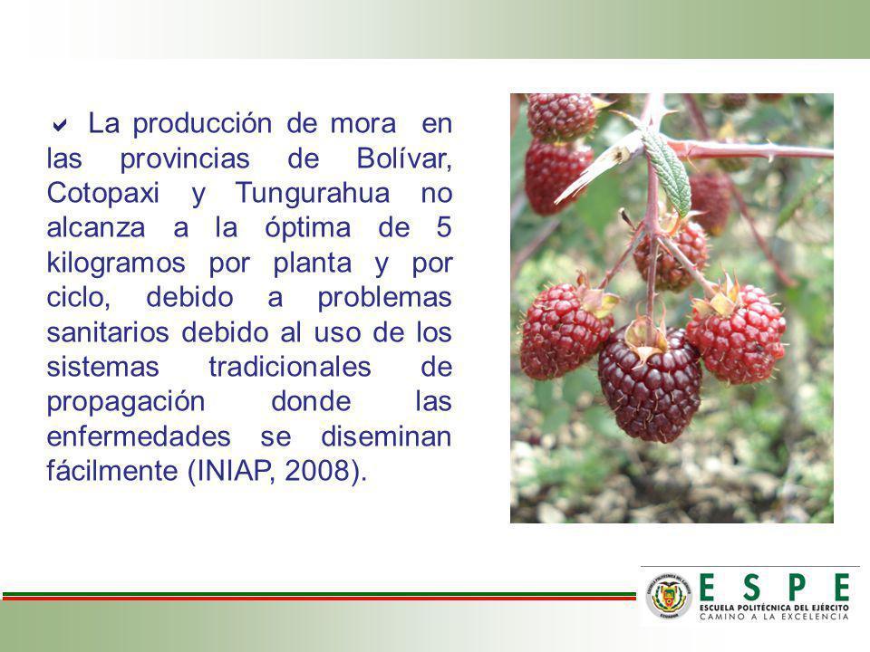 La producción de mora en las provincias de Bolívar, Cotopaxi y Tungurahua no alcanza a la óptima de 5 kilogramos por planta y por ciclo, debido a prob