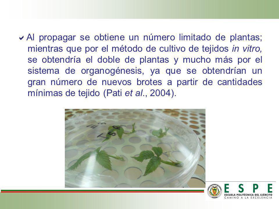 Al propagar se obtiene un número limitado de plantas; mientras que por el método de cultivo de tejidos in vitro, se obtendría el doble de plantas y mu