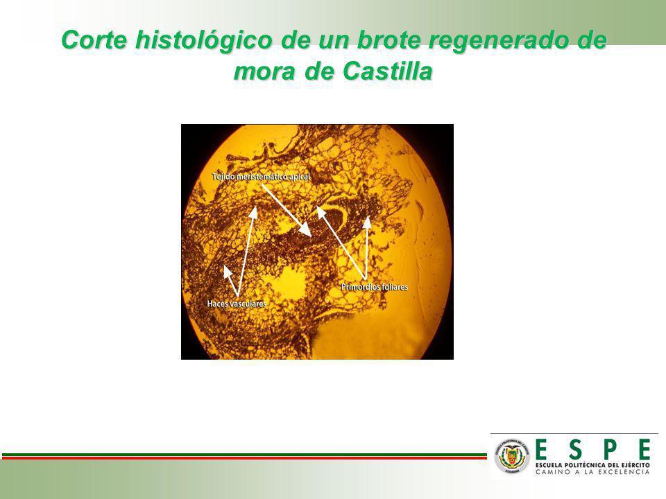 Corte histológico de un brote regenerado de mora de Castilla