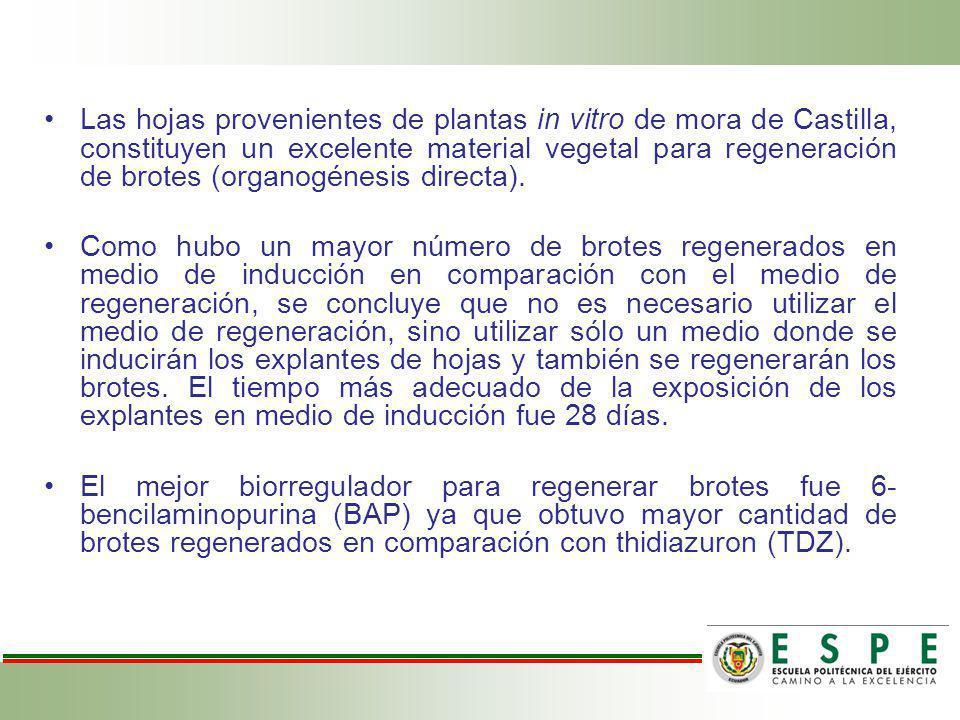 Las hojas provenientes de plantas in vitro de mora de Castilla, constituyen un excelente material vegetal para regeneración de brotes (organogénesis d