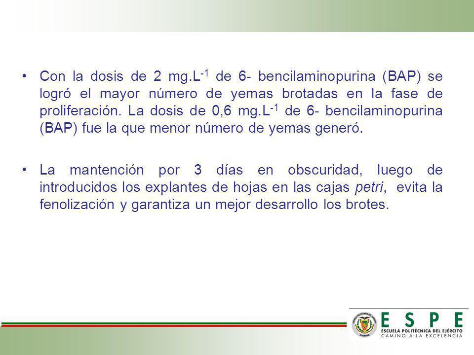 Con la dosis de 2 mg.L -1 de 6- bencilaminopurina (BAP) se logró el mayor número de yemas brotadas en la fase de proliferación. La dosis de 0,6 mg.L -