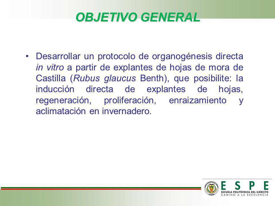 OBJETIVO GENERAL Desarrollar un protocolo de organogénesis directa in vitro a partir de explantes de hojas de mora de Castilla (Rubus glaucus Benth),