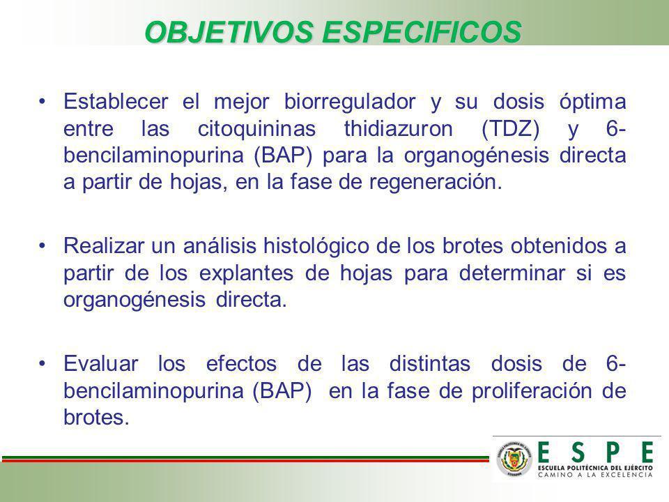 OBJETIVOS ESPECIFICOS Establecer el mejor biorregulador y su dosis óptima entre las citoquininas thidiazuron (TDZ) y 6- bencilaminopurina (BAP) para l