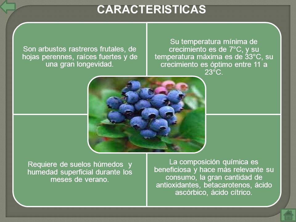 Son arbustos rastreros frutales, de hojas perennes, raíces fuertes y de una gran longevidad. Su temperatura mínima de crecimiento es de 7°C, y su temp