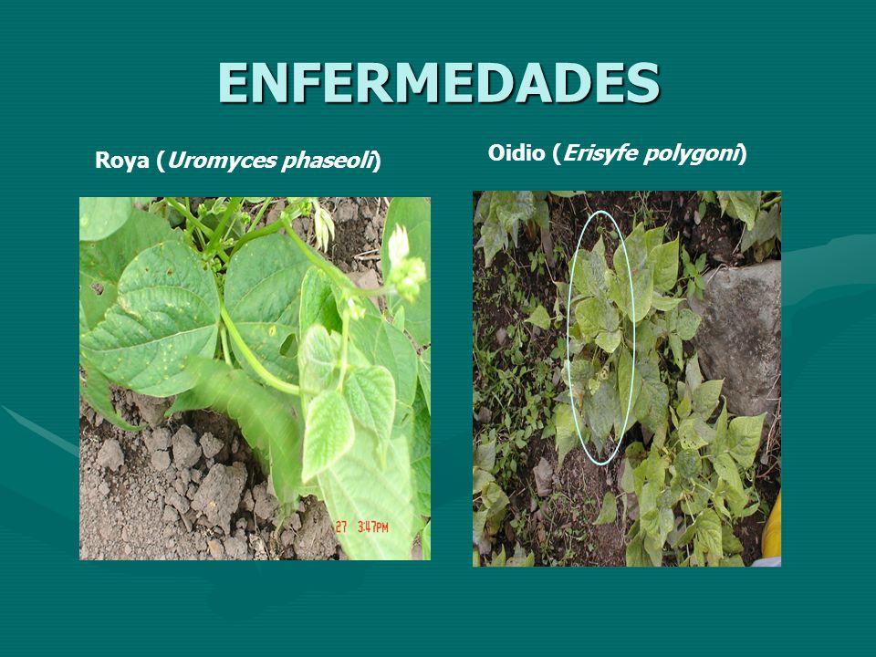 ENFERMEDADES Roya (Uromyces phaseoli) Oidio (Erisyfe polygoni)
