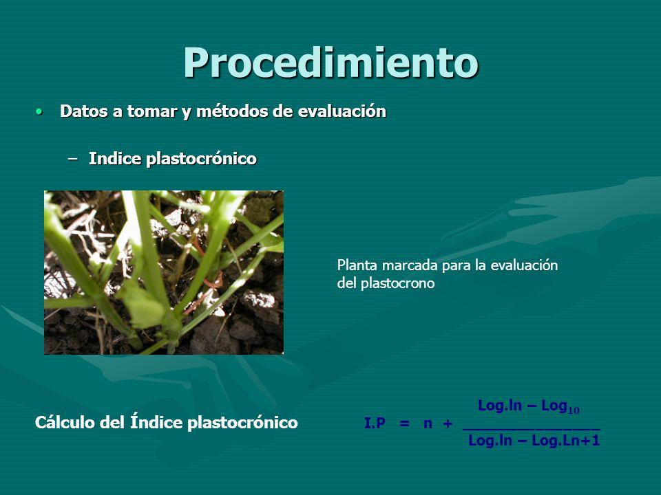 Procedimiento Datos a tomar y métodos de evaluaciónDatos a tomar y métodos de evaluación –Indice plastocrónico Planta marcada para la evaluación del p
