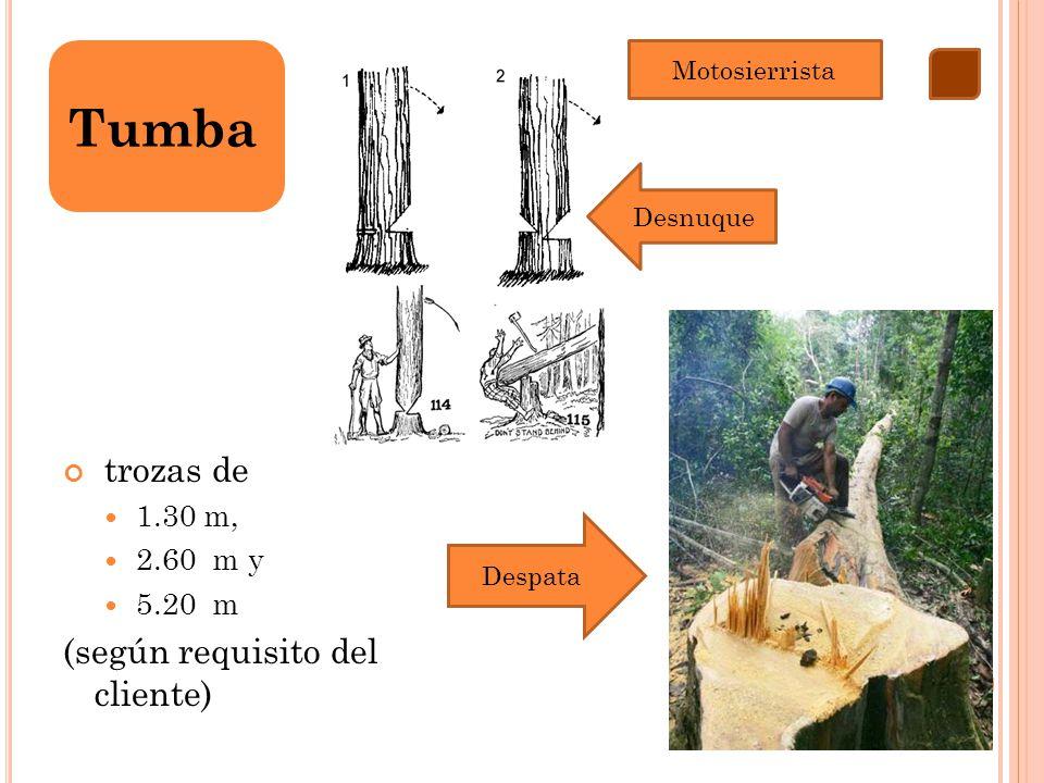 trozas de 1.30 m, 2.60 m y 5.20 m (según requisito del cliente) Tumba Motosierrista Desnuque Despata