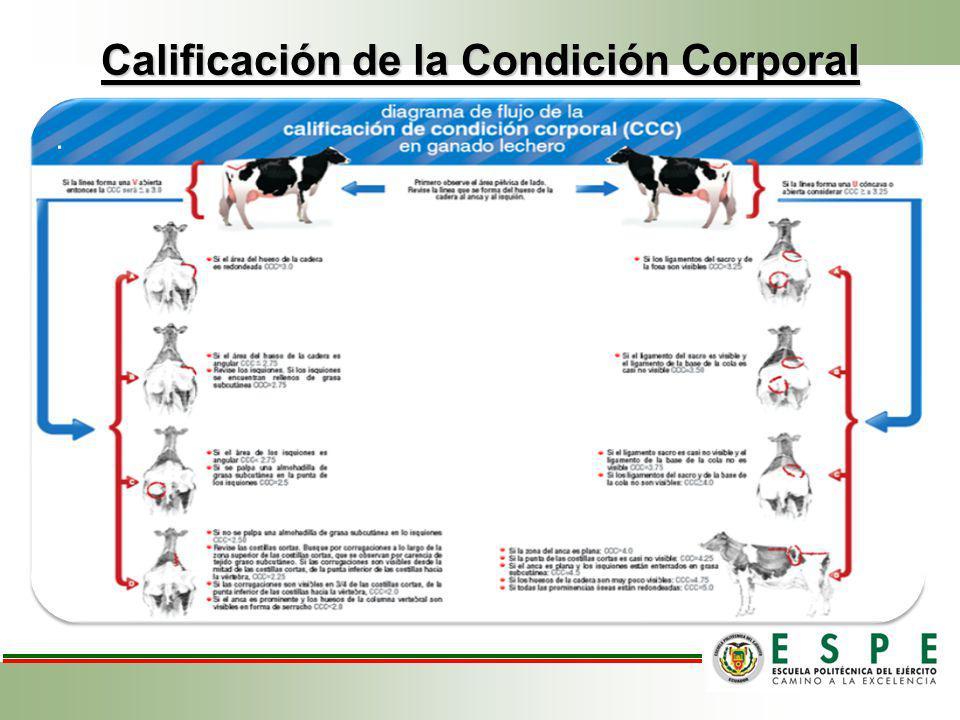 Calificación de la Condición Corporal..