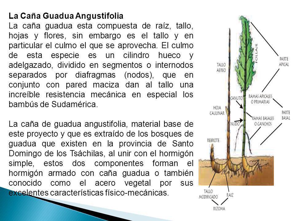 La Caña Guadua Angustifolia La caña guadua esta compuesta de raíz, tallo, hojas y flores, sin embargo es el tallo y en particular el culmo el que se a