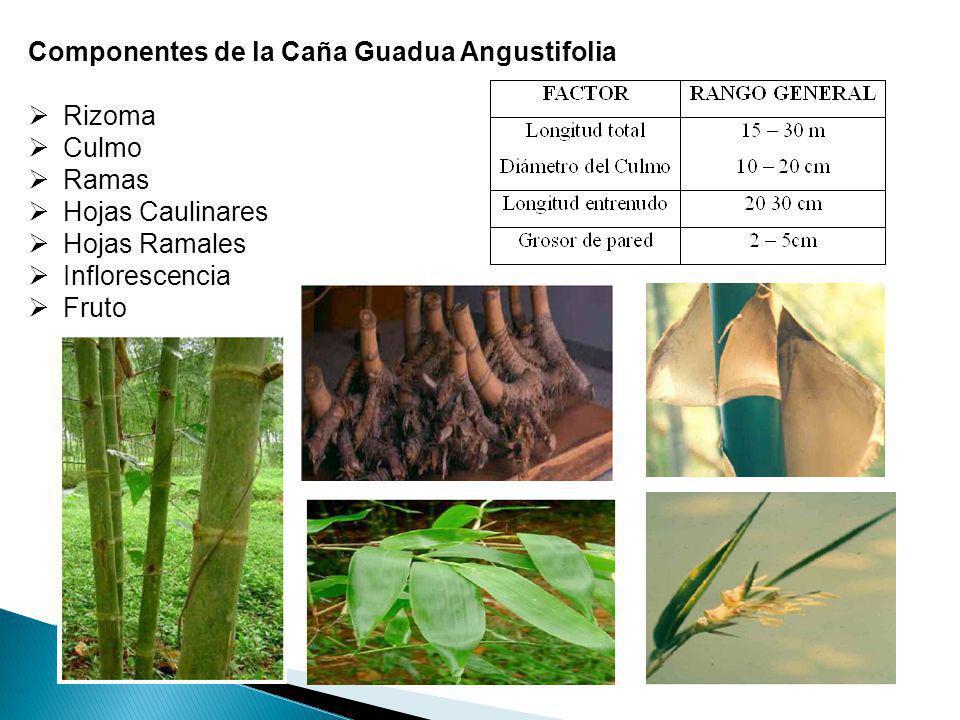Componentes de la Caña Guadua Angustifolia Rizoma Culmo Ramas Hojas Caulinares Hojas Ramales Inflorescencia Fruto