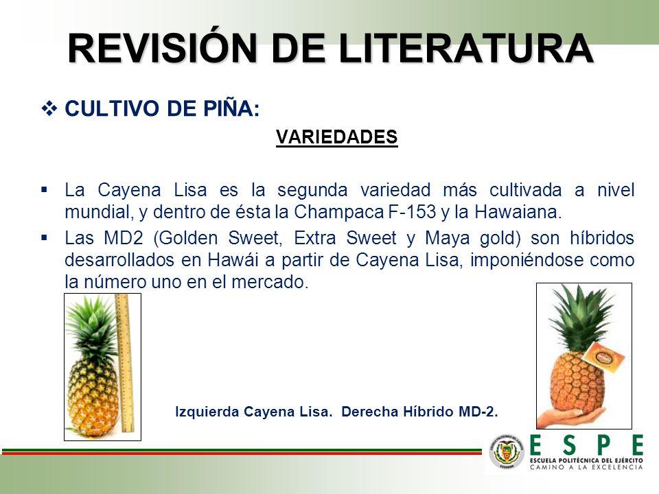 REVISIÓN DE LITERATURA CULTIVO DE PIÑA: VARIEDADES La Cayena Lisa es la segunda variedad más cultivada a nivel mundial, y dentro de ésta la Champaca F-153 y la Hawaiana.