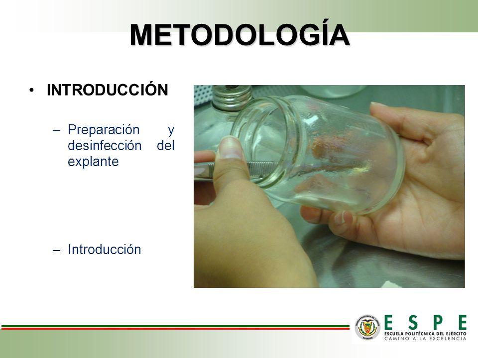 METODOLOGÍA INTRODUCCIÓN –Preparación y desinfección del explante –Introducción