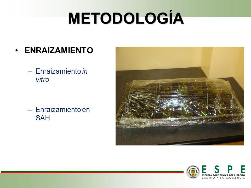 METODOLOGÍA ENRAIZAMIENTO –Enraizamiento in vitro –Enraizamiento en SAH