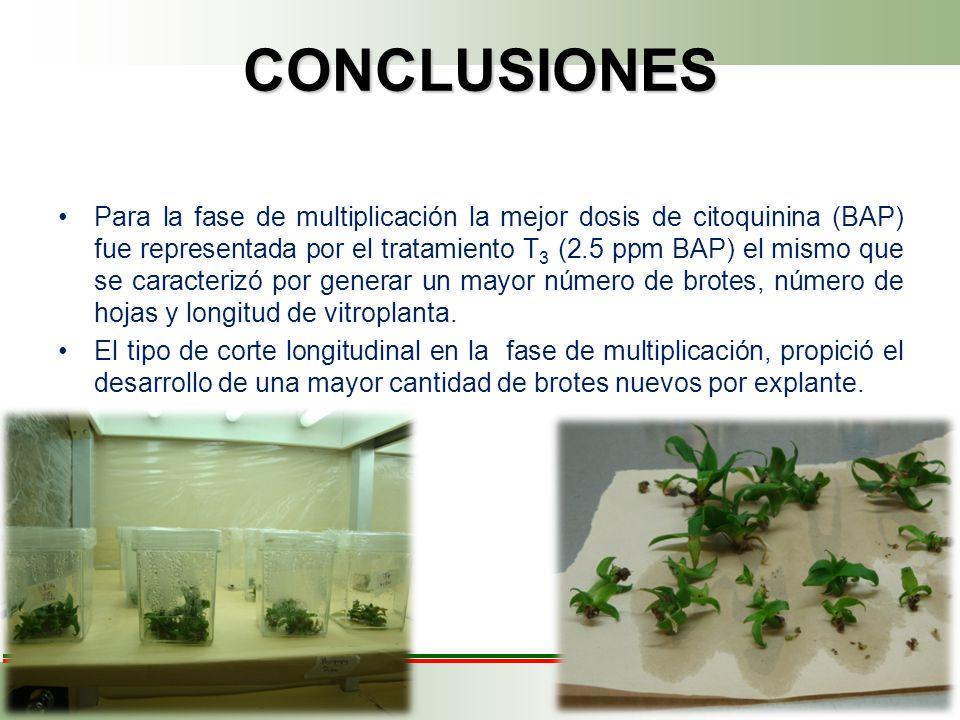 CONCLUSIONES Para la fase de multiplicación la mejor dosis de citoquinina (BAP) fue representada por el tratamiento T 3 (2.5 ppm BAP) el mismo que se caracterizó por generar un mayor número de brotes, número de hojas y longitud de vitroplanta.