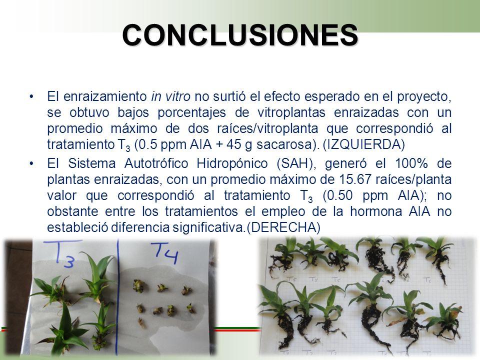 CONCLUSIONES El enraizamiento in vitro no surtió el efecto esperado en el proyecto, se obtuvo bajos porcentajes de vitroplantas enraizadas con un promedio máximo de dos raíces/vitroplanta que correspondió al tratamiento T 3 (0.5 ppm AIA + 45 g sacarosa).