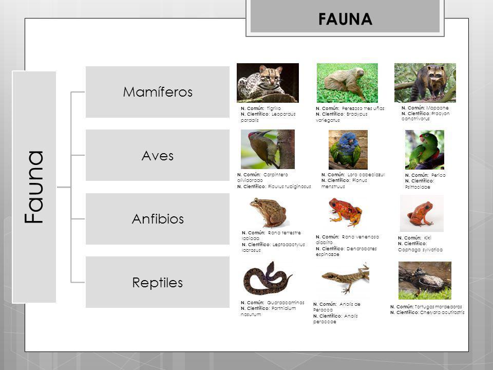 Fauna Mamíferos Aves Anfibios Reptiles FAUNA N.Común: Tigrillo N.