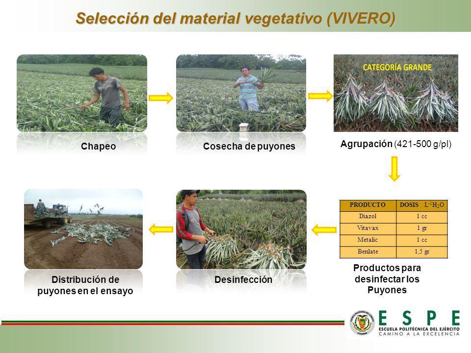 Selección del material vegetativo (VIVERO) ChapeoCosecha de puyones Agrupación (421-500 g/pl) Desinfección Distribución de puyones en el ensayo PRODUC