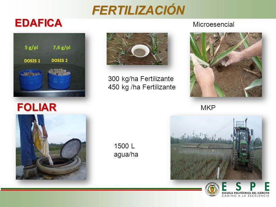 EDAFICA FOLIAR FERTILIZACIÓN Microesencial MKP 1500 L agua/ha 300 kg/ha Fertilizante 450 kg /ha Fertilizante