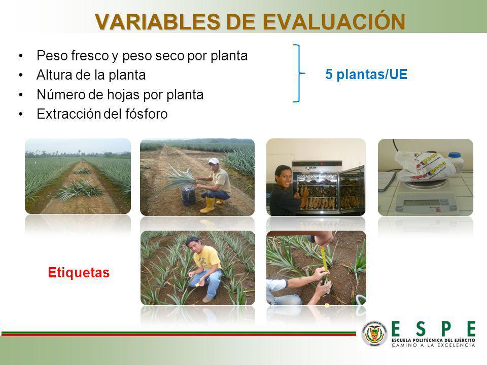 VARIABLES DE EVALUACIÓN Peso fresco y peso seco por planta Altura de la planta Número de hojas por planta Extracción del fósforo 5 plantas/UE Etiqueta