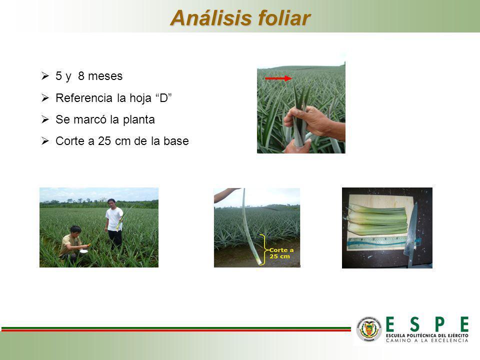 Análisis foliar 5 y 8 meses Referencia la hoja D Se marcó la planta Corte a 25 cm de la base