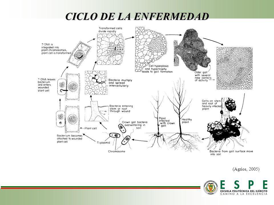 CICLO DE LA ENFERMEDAD (Agrios, 2005)
