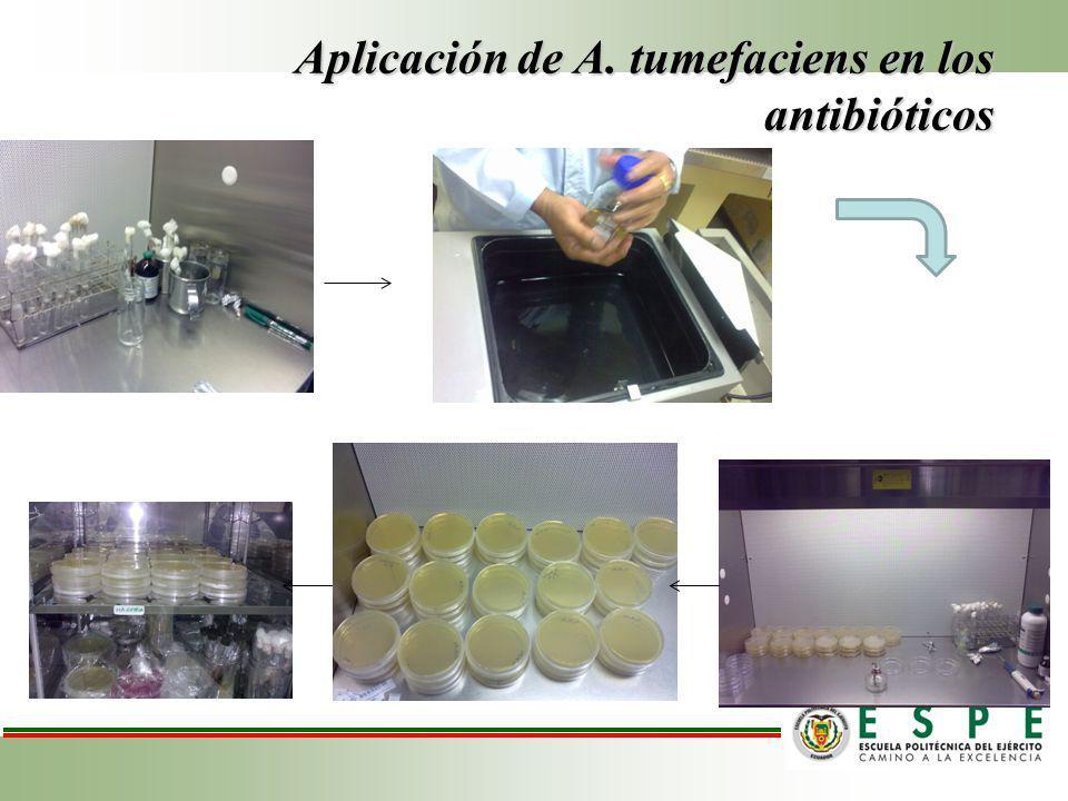 Aplicación de A. tumefaciens en los antibióticos