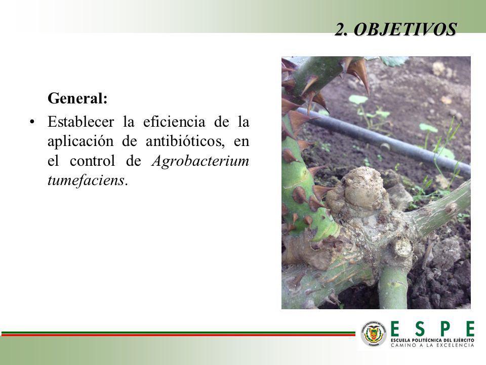 2. OBJETIVOS General: Establecer la eficiencia de la aplicación de antibióticos, en el control de Agrobacterium tumefaciens.