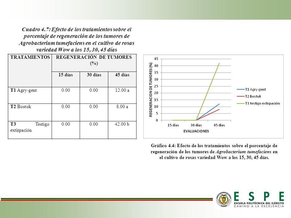 Cuadro 4.7: Efecto de los tratamientos sobre el porcentaje de regeneración de los tumores de Agrobacterium tumefaciens en el cultivo de rosas variedad Wow a los 15, 30, 45 días TRATAMIENTOSREGENERACIÓN DE TUMORES (%) 15 días30 días45 días T1 Agry-gent0.00 12.00 a T2 Bostok0.00 8.00 a T3 Testigo extirpación 0.00 42.00 b Gráfico 4.4: Efecto de los tratamientos sobre el porcentaje de regeneración de los tumores de Agrobacterium tumefaciens en el cultivo de rosas variedad Wow a los 15, 30, 45 días.