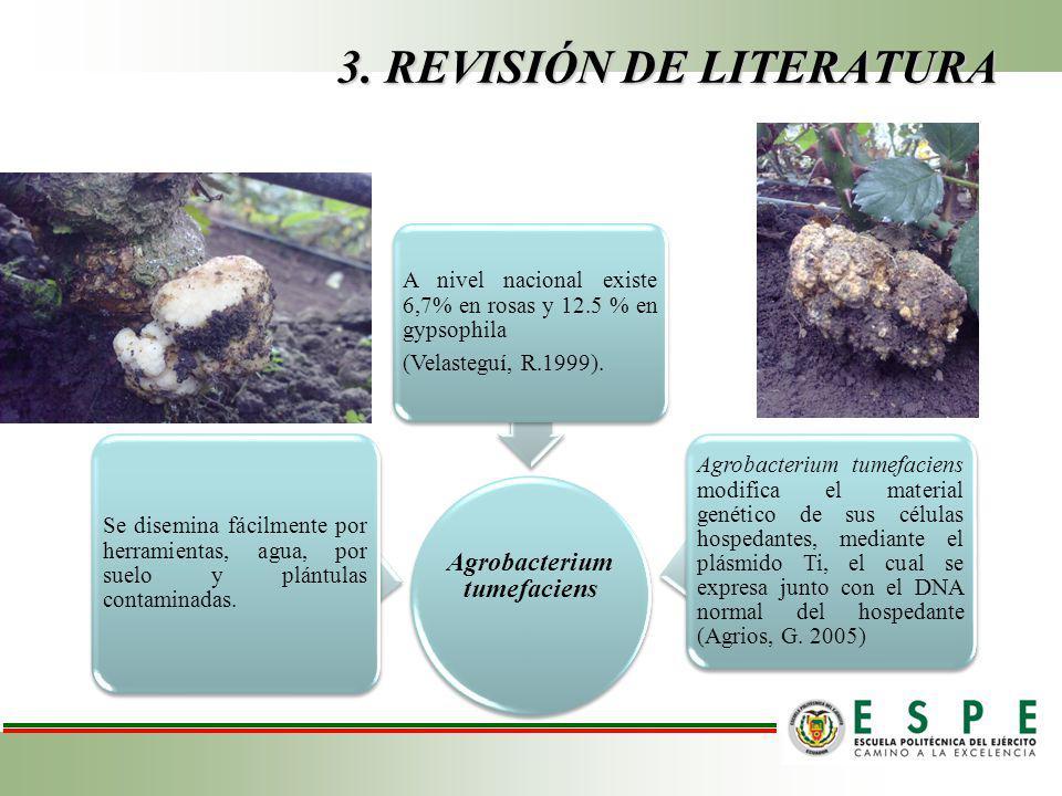 3. REVISIÓN DE LITERATURA Agrobacterium tumefaciens Se disemina fácilmente por herramientas, agua, por suelo y plántulas contaminadas. A nivel naciona