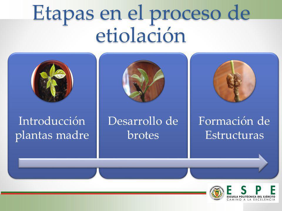 Etapas en el proceso de etiolación Introducción plantas madre Desarrollo de brotes Formación de Estructuras