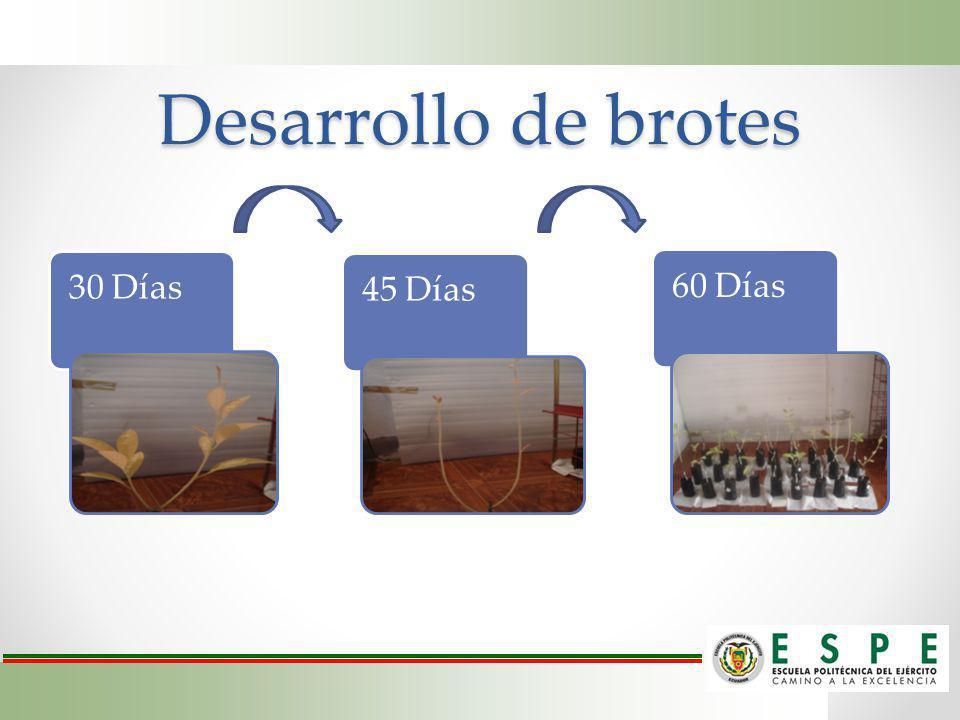 Desarrollo de brotes 30 Días 45 Días 60 Días