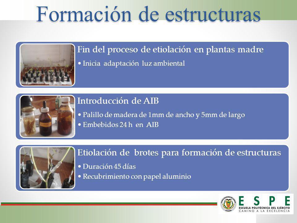 Formación de estructuras Fin del proceso de etiolación en plantas madre Inicia adaptación luz ambiental Introducción de AIB Palillo de madera de 1mm d
