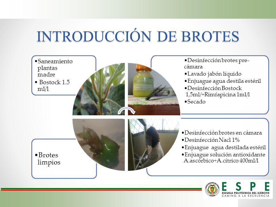 INTRODUCCIÓN DE BROTES Desinfección brotes en cámara Desinfección Nacl 1% Enjuague agua destilada estéril Enjuague solución antioxidante A.ascórbico+A