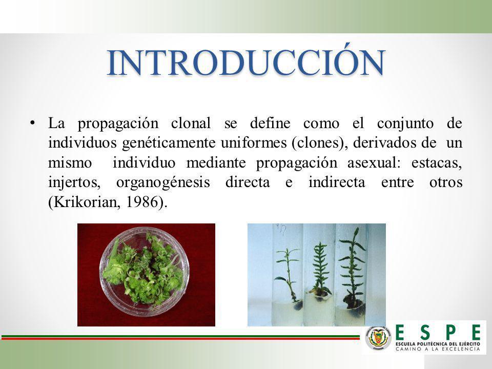INTRODUCCIÓN La propagación clonal se define como el conjunto de individuos genéticamente uniformes (clones), derivados de un mismo individuo mediante