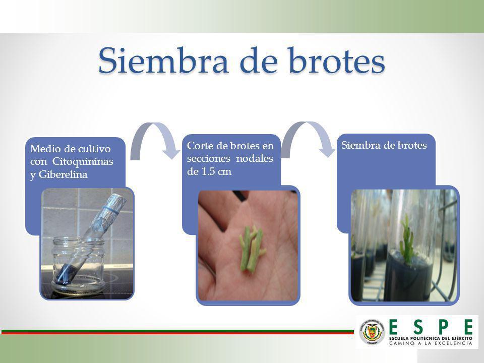 Siembra de brotes Medio de cultivo con Citoquininas y Giberelina Corte de brotes en secciones nodales de 1.5 cm Siembra de brotes