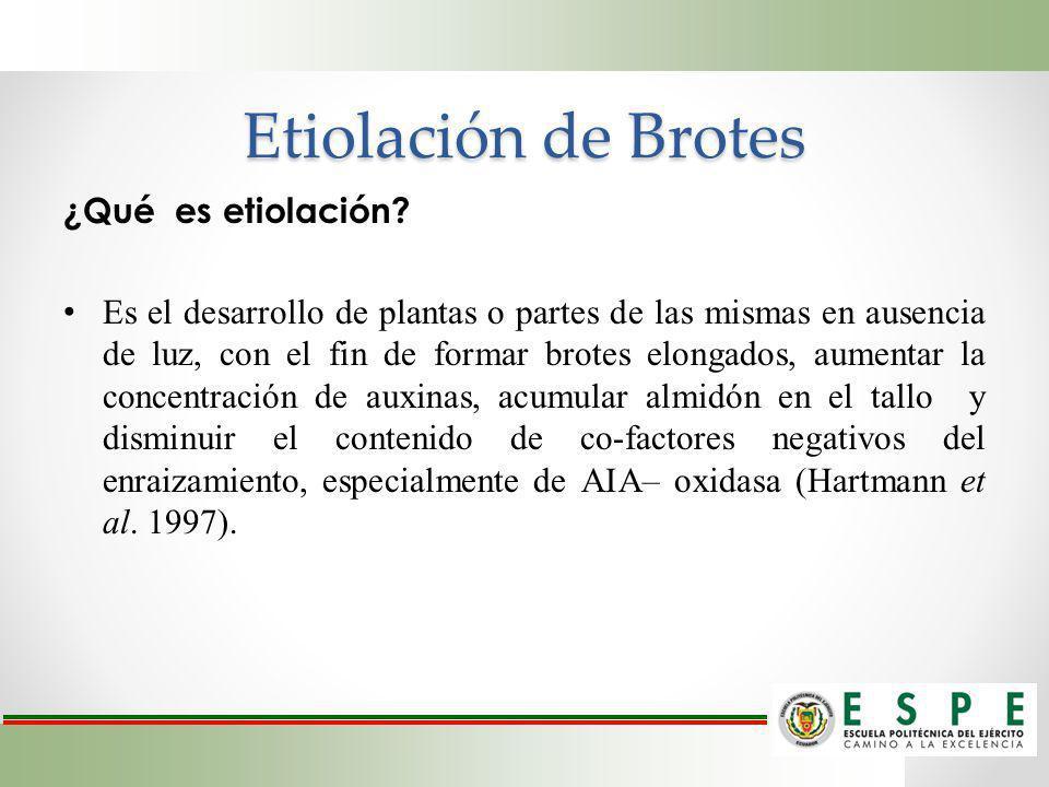 Etiolación de Brotes ¿Qué es etiolación? Es el desarrollo de plantas o partes de las mismas en ausencia de luz, con el fin de formar brotes elongados,