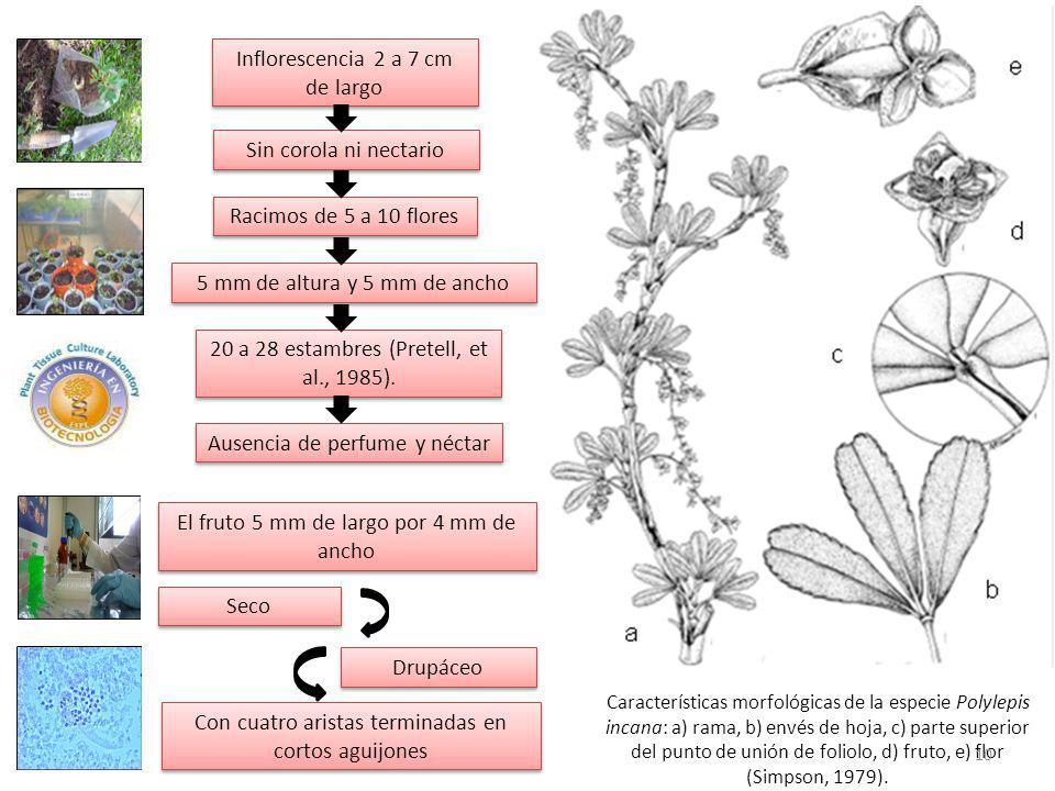 Características morfológicas de la especie Polylepis incana: a) rama, b) envés de hoja, c) parte superior del punto de unión de foliolo, d) fruto, e) flor (Simpson, 1979).
