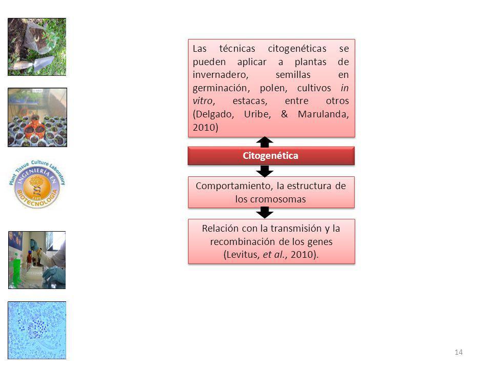 Las técnicas citogenéticas se pueden aplicar a plantas de invernadero, semillas en germinación, polen, cultivos in vitro, estacas, entre otros (Delgado, Uribe, & Marulanda, 2010) Citogenética Relación con la transmisión y la recombinación de los genes (Levitus, et al., 2010).