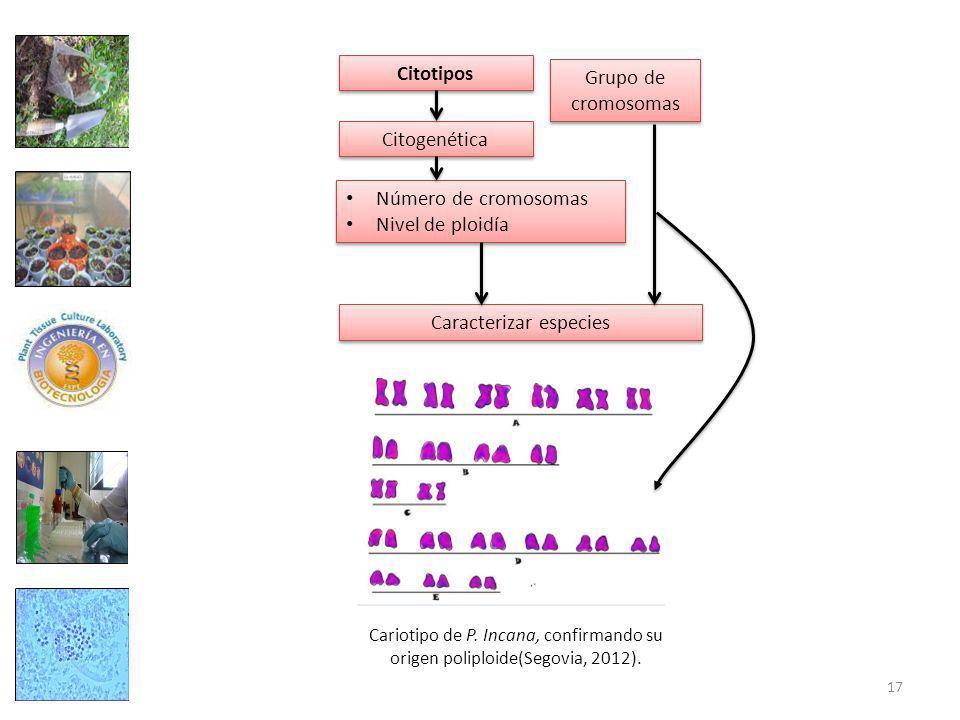 Citotipos Número de cromosomas Nivel de ploidía Número de cromosomas Nivel de ploidía Citogenética Grupo de cromosomas Caracterizar especies Cariotipo de P.