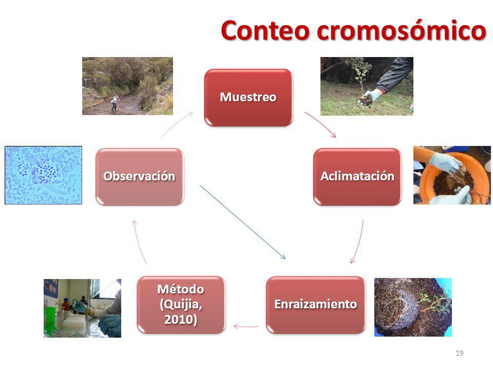 Conteo cromosómico Muestreo Aclimatación Enraizamiento Método (Quijia, 2010) Observación 19