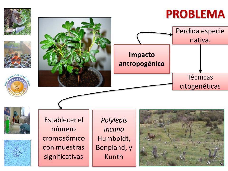 PROBLEMA Polylepis incana Humboldt, Bonpland, y Kunth Establecer el número cromosómico con muestras significativas Impacto antropogénico Perdida especie nativa.