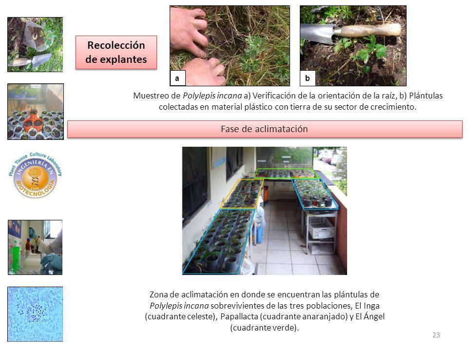 a b Muestreo de Polylepis incana a) Verificación de la orientación de la raíz, b) Plántulas colectadas en material plástico con tierra de su sector de crecimiento.