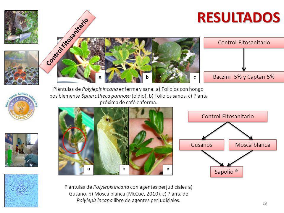 RESULTADOS Plántulas de Polylepis incana enferma y sana.