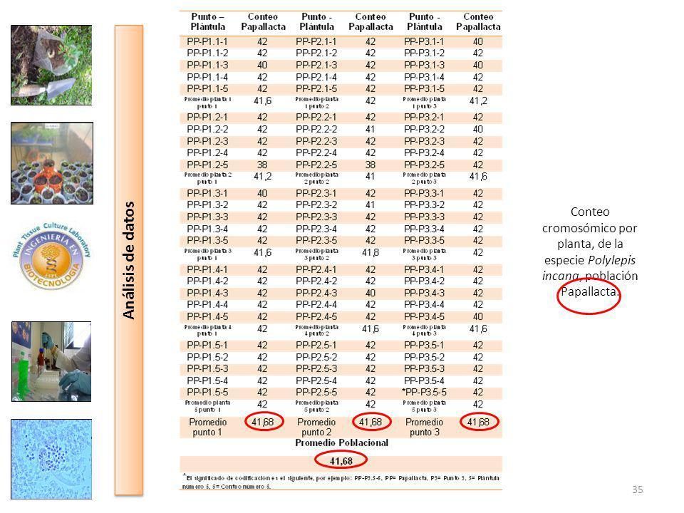 Conteo cromosómico por planta, de la especie Polylepis incana, población Papallacta.
