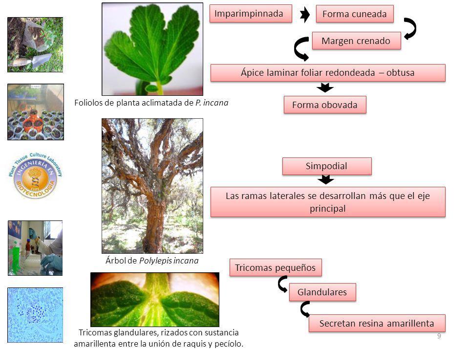 Foliolos de planta aclimatada de P.