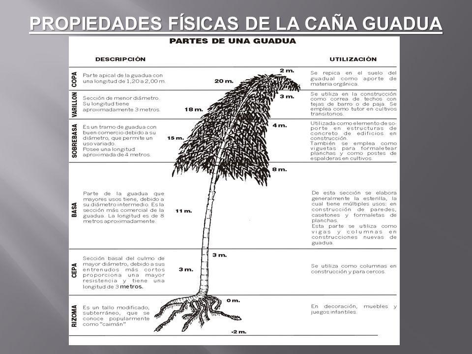 Renuevo, Brote.- Es la primera fase del desarrollo de la planta y se caracteriza por estas cubierta por hojas caulinares (calor café).