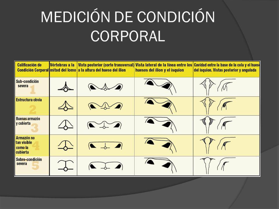 MEDICIÓN DE CONDICIÓN CORPORAL
